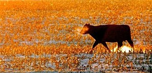 Cow In The Cold
