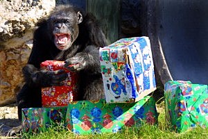 Chimp wrapping presents