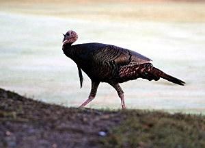 Turkey On Golf Course