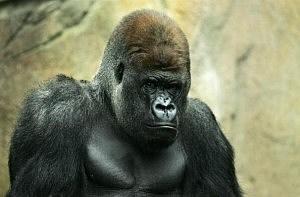 Taronga Zoo Welcomes Gorilla Baby