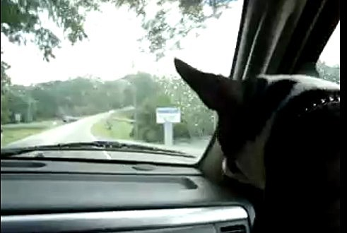 Boston Terrier staring at windshield wipers