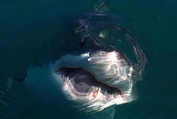 Great White Shark just below the surface of the water