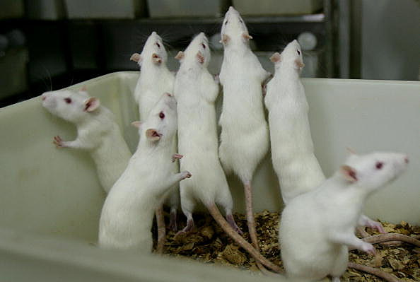 Got Fat mice? Get yogurt! (Getty Images)