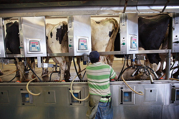 Dairy Farms are the nations backbone (Getty Images)