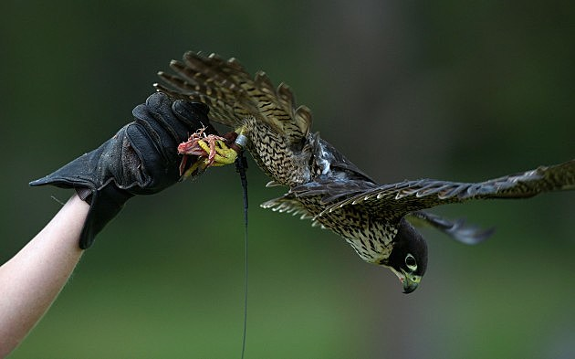 Peregrine Falcon Takes Flight At Taronga Zoo