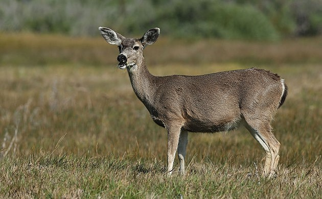 Whitetail Deer (Getty Images)